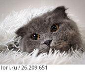 Купить «Funny cat peeking out from under the warm blanket», фото № 26209651, снято 21 января 2018 г. (c) Ирина Козорог / Фотобанк Лори