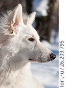Купить «Белая швейцарская овчарка, профиль», фото № 26209795, снято 19 марта 2006 г. (c) Недзельская Татьяна / Фотобанк Лори