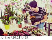 Купить «Woman florist fixing a kalanchoe calandiva flower», фото № 26211439, снято 16 августа 2018 г. (c) Яков Филимонов / Фотобанк Лори