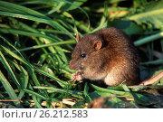 Купить «Rata Común ( Rattus norvegicus ) en el parque Natural de S'Albufera de Mallorca, Mallorca, Islas Baleares.», фото № 26212583, снято 19 октября 2019 г. (c) age Fotostock / Фотобанк Лори