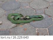 Змея ест ящерицу. Стоковое фото, фотограф Александр Княжецкий / Фотобанк Лори