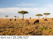 Купить «buffalo bulls grazing in savannah at africa», фото № 26246527, снято 18 февраля 2017 г. (c) Syda Productions / Фотобанк Лори