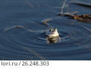 Купить «Остромордая лягушка, или болотная лягушка (лат. Rana arvalis) на поверхности воды крупным планом весенним днем», фото № 26248303, снято 20 апреля 2017 г. (c) Григорий Писоцкий / Фотобанк Лори
