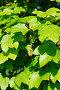 Молодые листья клена, фото № 26262519, снято 10 мая 2017 г. (c) Татьяна Кахилл / Фотобанк Лори