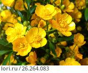 Erantis (spring) family of buttercups. Стоковое фото, фотограф Oleksandr Khalimonov / Фотобанк Лори