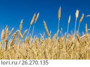 Ears of wheat. Стоковое фото, фотограф Ирина Толокновская / Фотобанк Лори