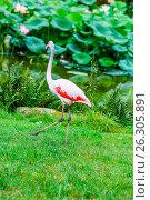 Купить «Beautiful pink flamingo», фото № 26305891, снято 25 июня 2019 г. (c) easy Fotostock / Фотобанк Лори