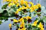 Калужница болотная. Yellow Caltha flowers in the body of water, фото № 26318375, снято 8 мая 2017 г. (c) Георгий Дзюра / Фотобанк Лори