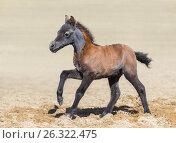 Гнедой жеребенок Американской миниатюрной лошади скачет по песку. Стоковое фото, фотограф Абрамова Ксения / Фотобанк Лори
