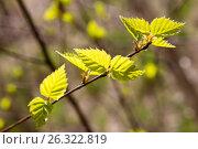 Купить «Молодые весенние листья березы», фото № 26322819, снято 13 мая 2017 г. (c) Илья Бесхлебный / Фотобанк Лори