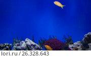 Купить «Reef fishes got scared», видеоролик № 26328643, снято 16 мая 2017 г. (c) Илья Шаматура / Фотобанк Лори