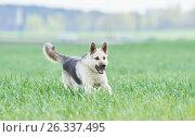 Купить «East european purebred shepherd dog in field», фото № 26337495, снято 6 мая 2017 г. (c) Дмитрий Калиновский / Фотобанк Лори