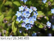 Купить «Соцветие незабудки», эксклюзивное фото № 26340455, снято 16 мая 2017 г. (c) Ната Антонова / Фотобанк Лори