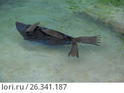 Купить «Fur seal», фото № 26341187, снято 30 мая 2006 г. (c) Акоп Васильян / Фотобанк Лори