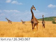 Herd of giraffes walking in arid Kenyan savannah (2015 год). Стоковое фото, фотограф Сергей Новиков / Фотобанк Лори