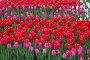 Яркие красные тюльпаны на клумбе, фото № 26352591, снято 13 мая 2017 г. (c) Natalya Sidorova / Фотобанк Лори