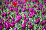 Фиолетовые тюльпаны, фото № 26352595, снято 15 мая 2017 г. (c) Natalya Sidorova / Фотобанк Лори