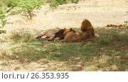 Купить «male lions resting in savanna at africa», видеоролик № 26353935, снято 14 апреля 2017 г. (c) Syda Productions / Фотобанк Лори