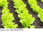Купить «Листья зелёного салата на грядке», фото № 26354975, снято 22 января 2019 г. (c) severe / Фотобанк Лори
