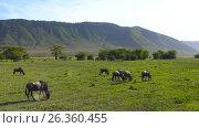 Купить «Зебры и антилопы гну в кратере Нгоронгоро. Танзания. Африка», видеоролик № 26360455, снято 15 февраля 2017 г. (c) Сергей Петренко / Фотобанк Лори