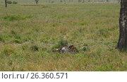 Купить «Африканские львы возле только что убитой ими зебры. Танзания. Африка», видеоролик № 26360571, снято 15 февраля 2017 г. (c) Сергей Петренко / Фотобанк Лори