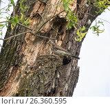 Купить «Дрозд-рябинник на гнезде с птенцами», фото № 26360595, снято 23 мая 2017 г. (c) Юлия Бабкина / Фотобанк Лори