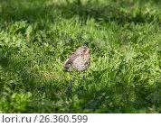Купить «Дрозд-рябинник. Птенец-слёток в траве», фото № 26360599, снято 23 мая 2017 г. (c) Юлия Бабкина / Фотобанк Лори