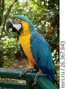 Blue-and-Yellow Macaw Parrot - Ara Ararauna in a zoo, Santa Cruz, Bolivia (2016 год). Стоковое фото, фотограф Жукова Юлия / Фотобанк Лори