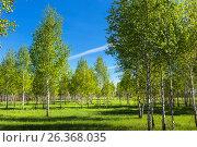 Купить «Листопадное дерево берёза (лат. Betula). Весенний пейзаж с молодой берёзовой рощей. Новосибирская область, Сибирь, Россия», фото № 26368035, снято 21 мая 2017 г. (c) Евгений Мухортов / Фотобанк Лори