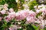 Дейция цветущая, фото № 26368339, снято 17 мая 2017 г. (c) Татьяна Кахилл / Фотобанк Лори