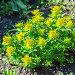 Молочай многоцветный ( лат. Euphorbia epithymoides ). Декоративное садовое растение, фото № 26386759, снято 27 мая 2017 г. (c) Евгений Мухортов / Фотобанк Лори