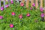 Лекарственное растение Марьин корень или пион уклоняющийся (лат. Paeonia anomala ). Цветущий куст у деревянного забора на дачном участке, фото № 26389683, снято 28 мая 2017 г. (c) Евгений Мухортов / Фотобанк Лори