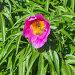 Лекарственное растение Марьин корень или пион уклоняющийся (лат. Paeonia anomala ). Пчела собирает нектар с цветка, фото № 26389699, снято 28 мая 2017 г. (c) Евгений Мухортов / Фотобанк Лори