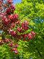 Ветка цветущей декоративной яблони сорта Роялти (Royalty). Весна, фото № 26391423, снято 24 мая 2017 г. (c) Валерия Попова / Фотобанк Лори