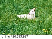 Goat cub lies on a green grass outdoors. Стоковое фото, фотограф Никита Ковалёв / Фотобанк Лори