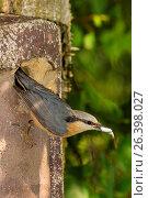 Купить «Eurasian nuthatch (Sitta europaea), carrying droppings of the young birds out of the nesting box, Germany, Bavaria», фото № 26398027, снято 18 мая 2016 г. (c) age Fotostock / Фотобанк Лори