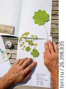 Lady's mantle (Alchemilla mollis), pressed plant are put in to the herbarium, Germany. Стоковое фото, фотограф F. Hecker / age Fotostock / Фотобанк Лори