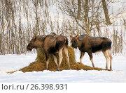 Купить «Elk, European moose (Alces alces alces), three elks at feeding place, Norway, Troms», фото № 26398931, снято 26 февраля 2016 г. (c) age Fotostock / Фотобанк Лори