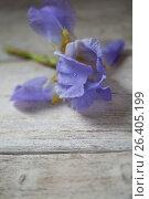 Купить «Iris flower on wooden boards», фото № 26405199, снято 24 мая 2017 г. (c) Типляшина Евгения / Фотобанк Лори