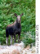 Купить «Elk, European moose (Alces alces alces), cow elk in a forest, Sweden, Vaestergoetland», фото № 26407475, снято 14 сентября 2016 г. (c) age Fotostock / Фотобанк Лори