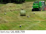 Купить «White stork (Ciconia ciconia), storks in a freshly mowed meadow, Germany», фото № 26408799, снято 16 июня 2014 г. (c) age Fotostock / Фотобанк Лори