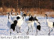 Купить «Японские журавли на зимовке в Японии», фото № 26410059, снято 18 января 2009 г. (c) Александр Гаценко / Фотобанк Лори