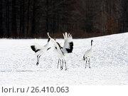 Купить «Японские журавли на снегу», фото № 26410063, снято 18 января 2009 г. (c) Александр Гаценко / Фотобанк Лори