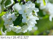 Купить «Цветущая яблоня», фото № 26412327, снято 24 мая 2017 г. (c) Татьяна Белова / Фотобанк Лори