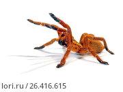 Orange baboon tarantula, Mombasa golden starburst tarantula (Pterinochilus murinus, Pterinochilus mamillatus), in defense posture, cut-out, Kenya. Стоковое фото, фотограф B. Trapp / age Fotostock / Фотобанк Лори