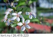 Cherry flowering in a garden. Стоковое фото, фотограф Сергей Овчинников / Фотобанк Лори