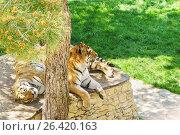 Купить «Пара амурских (или уссурийских, или сибирских, или дальневосточных) (лат. Panthera tigris altaica) отдыхают в тени дерева в вольере сафари-парка Геленджика», фото № 26420163, снято 30 апреля 2017 г. (c) Наталья Гармашева / Фотобанк Лори