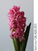 Яркий розовый гиацинт на белом фоне. Стоковое фото, фотограф Юлия Болоцкая / Фотобанк Лори