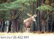 Купить «Elk, European moose (Alces alces alces), bull moose standing at the forest edge, Germany, Mecklenburg», фото № 26422991, снято 24 августа 2019 г. (c) age Fotostock / Фотобанк Лори