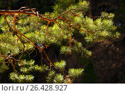 Pine tree branch close up. Стоковое фото, фотограф Дарья Зуйкова / Фотобанк Лори